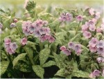 HARDY PERENNIALS: PULMONARIA